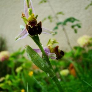 Photographie n°241480 du taxon Ophrys apifera