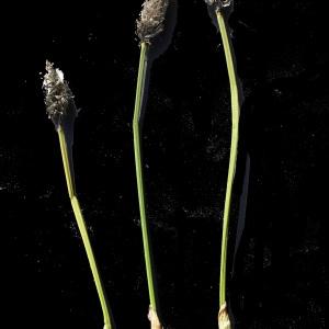 Photographie n°241535 du taxon Eriophorum vaginatum L. [1753]