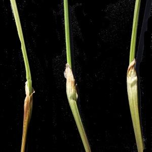 Photographie n°241537 du taxon Eriophorum vaginatum L. [1753]