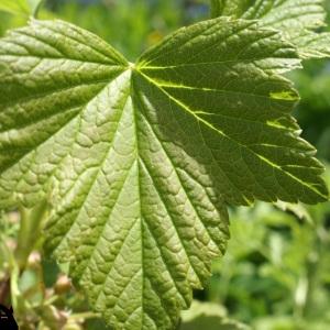 Photographie n°241568 du taxon Ribes nigrum L. [1753]