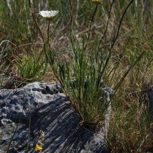 Photographie n°241642 du taxon Leucanthemum burnatii Briq. & Cavill. [1916]