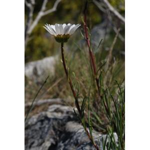 Leucanthemum burnatii Briq. & Cavill. (Marguerite de Burnat)