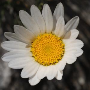 - Leucanthemum burnatii Briq. & Cavill. [1916]