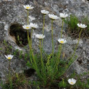 Photographie n°241665 du taxon Leucanthemum graminifolium (L.) Lam. [1779]