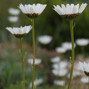 Photographie n°241666 du taxon Leucanthemum graminifolium (L.) Lam. [1779]
