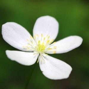 Photographie n°241776 du taxon Ranunculus aconitifolius L. [1753]