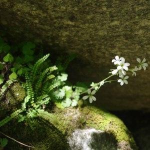 Photographie n°241778 du taxon Saxifraga granulata L.
