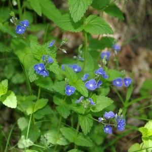 Photographie n°241786 du taxon Veronica chamaedrys L. [1753]