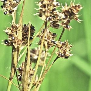 Photographie n°241848 du taxon Luzula multiflora