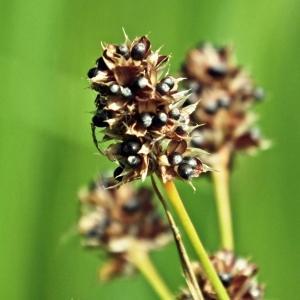 Photographie n°241849 du taxon Luzula multiflora