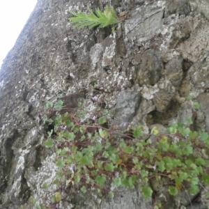 Photographie n°241860 du taxon Cymbalaire des murailles