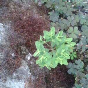 Photographie n°241866 du taxon Euphorbe des jardins