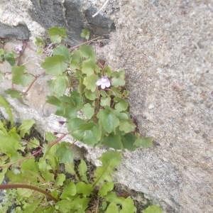 Photographie n°241897 du taxon Cymbalaire des murailles