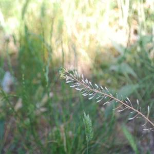 Photographie n°241912 du taxon Capsella bursa-pastoris (L.) Medik.