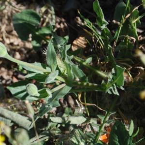 Photographie n°241919 du taxon Urospermum dalechampii (L.) Scop. ex F.W.Schmidt [1795]