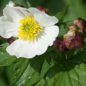 Photographie n°241943 du taxon Ranunculus aconitifolius L. [1753]