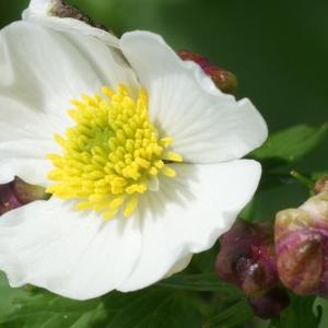 Photographie n°241945 du taxon Ranunculus aconitifolius L. [1753]