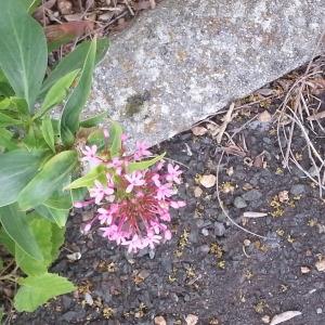 Photographie n°242075 du taxon Centranthe lilas-d'Espagne