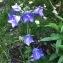 Matthieu BOLL - Campanula persicifolia L. [1753]