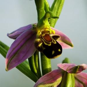 Photographie n°242175 du taxon Ophrys apifera Huds. [1762]