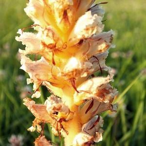 Orobanche picridis F.W.Schultz (Orobanche de la picride)