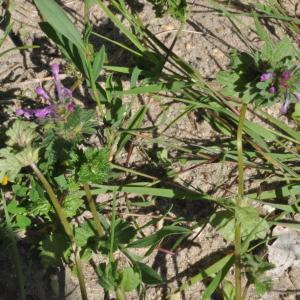 Photographie n°242217 du taxon Lamium amplexicaule amplexicaule