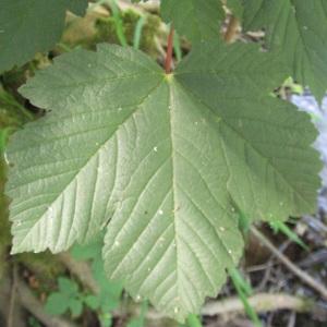 Photographie n°242226 du taxon Acer pseudoplatanus L.