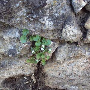 Photographie n°242230 du taxon Cymbalaire des murailles