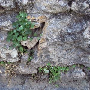 Photographie n°242231 du taxon Cymbalaire des murailles