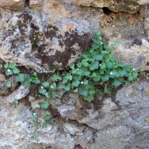 Photographie n°242233 du taxon Cymbalaire des murailles