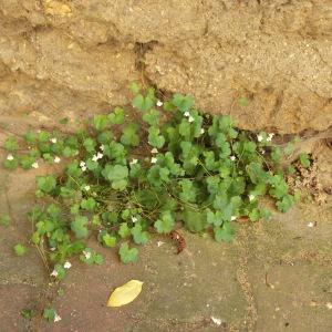 Photographie n°242234 du taxon Cymbalaire des murailles