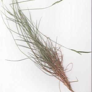 Photographie n°242298 du taxon Brachypodium retusum (Pers.) P.Beauv. [1812]