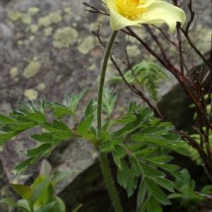 Photographie n°242308 du taxon Pulsatilla alpina subsp. apiifolia (Scop.) Nyman [1878]