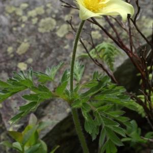 Photographie n°242309 du taxon Pulsatilla alpina subsp. apiifolia (Scop.) Nyman [1878]