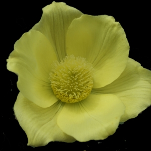 Photographie n°242316 du taxon Pulsatilla alpina subsp. apiifolia (Scop.) Nyman [1878]