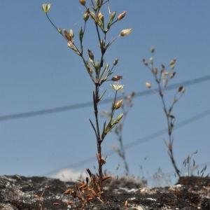 Photographie n°242395 du taxon Minuartia hybrida subsp. tenuifolia (L.) Kerguélen [1993]