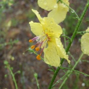Photographie n°242440 du taxon Verbascum L. [1753]