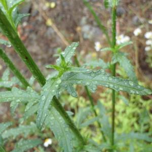 Photographie n°242442 du taxon Verbascum roripifolium