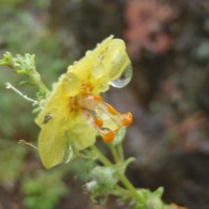 Photographie n°242452 du taxon Verbascum L. [1753]