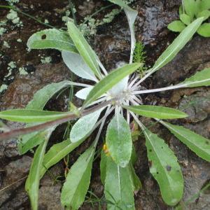 Photographie n°242453 du taxon Verbascum L. [1753]