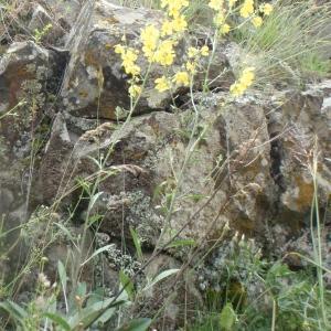 Photographie n°242454 du taxon Verbascum L. [1753]
