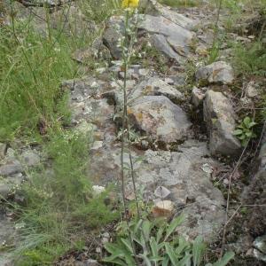 Photographie n°242455 du taxon Verbascum L. [1753]