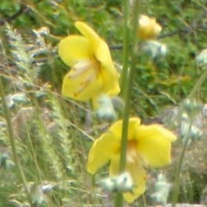 Photographie n°242456 du taxon Verbascum L. [1753]