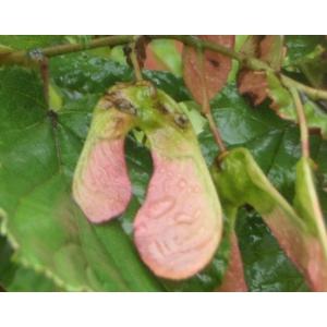 Acer tataricum L. (Érable de Tartarie)