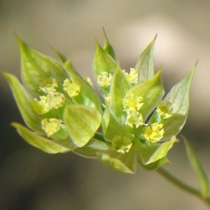 Tenoria baldensis (Turra) Spreng. (Buplèvre du mont Baldo)