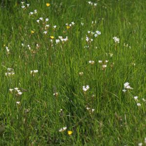 Photographie n°242640 du taxon Saxifraga granulata L.