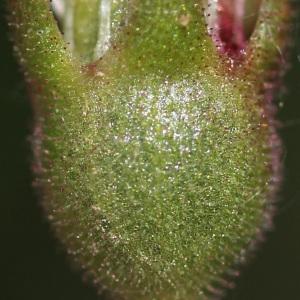 Photographie n°242643 du taxon Saxifraga granulata L.