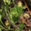 John De Vos - Saxifraga granulata L.