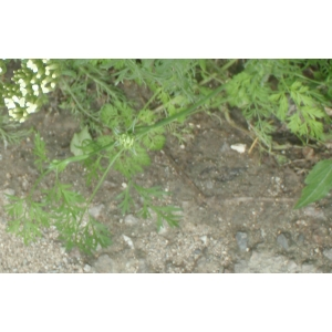 Chaerophyllum nodosum (L.) Crantz (Cerfeuil noueux)
