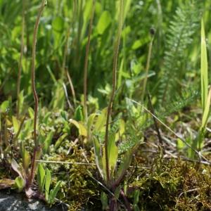 Photographie n°242756 du taxon Hieracium lactucella Wallr. [1822]